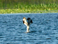 SNAPSHOT - Diving Osprey